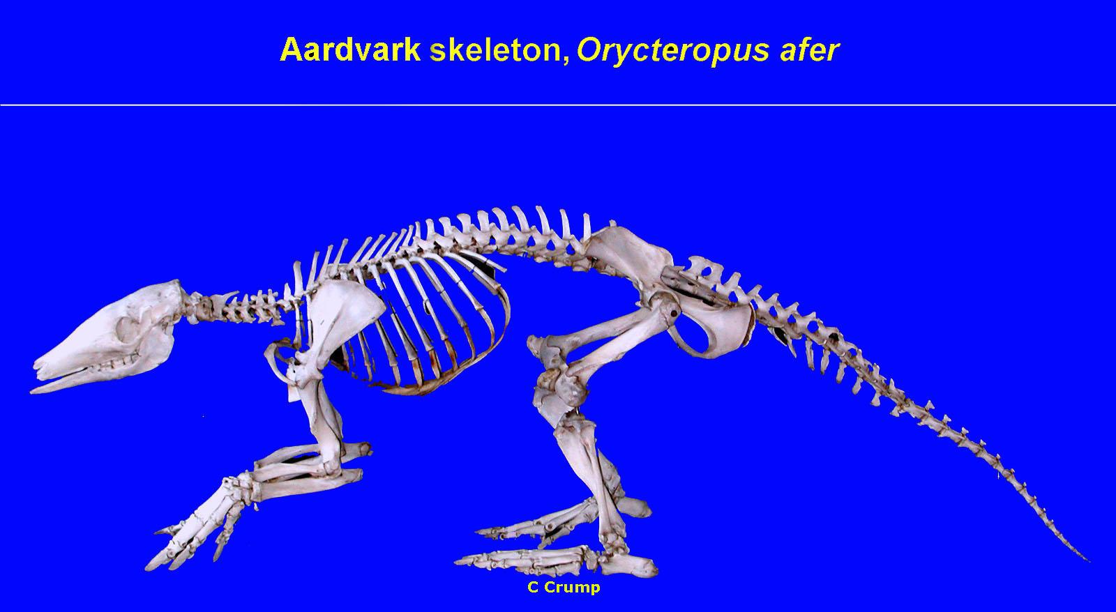 Aardvark skeleton - photo#5